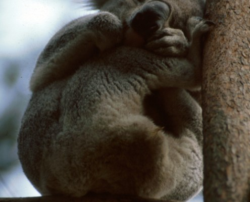 Australia: koala addormentato.