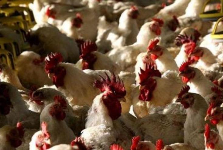 طبيب أمريكي يحذر من وباء جديد يقتل نصف سكان العالم بسبب الطيور