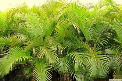 Areca Palm India