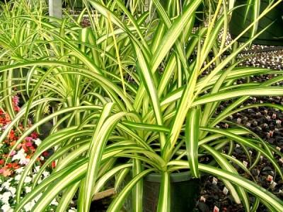 Spider plant india