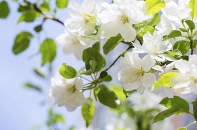 बिगोनिया का पौधा