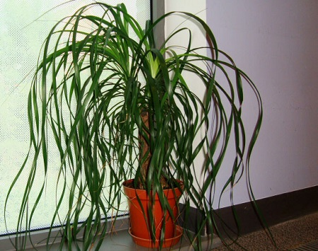 Ponytail palm plant in india