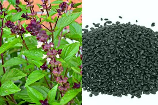Sabja seeds plant