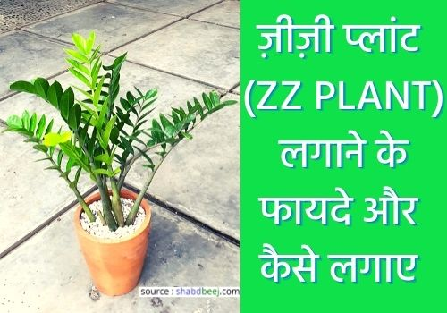 about ZZ plant in hindi