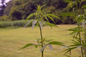 marijuana affiliate programs