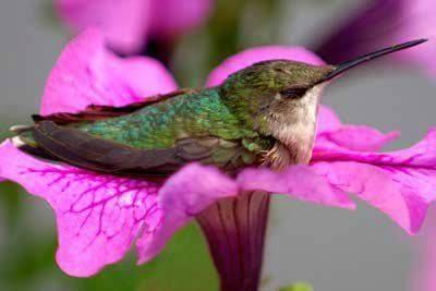 Hummingbird sitting in flower