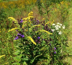 Clump of Golden Rod, Field Asters and Flat Top Asters