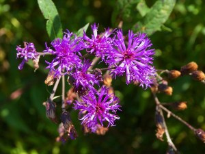 Close up of deep purple asters