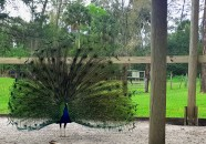 Our peacocks showing off