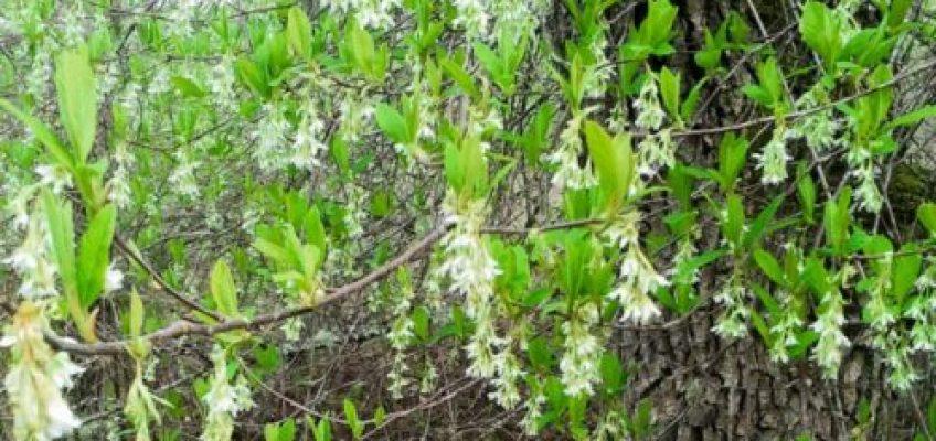 Native plant of the month: Oso Berry, Oemleria cerasiformis
