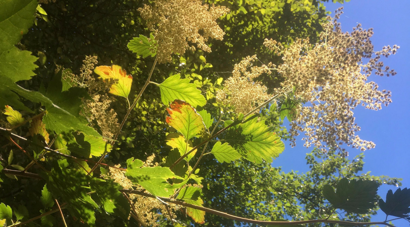 Native Plant of the Month: Ocean Spray