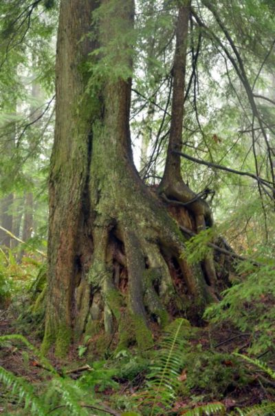 Engaging Trees: Survey of culturally significant trees