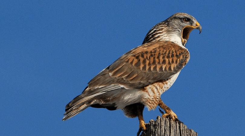 Animals in Summer: Ferruginous Hawk