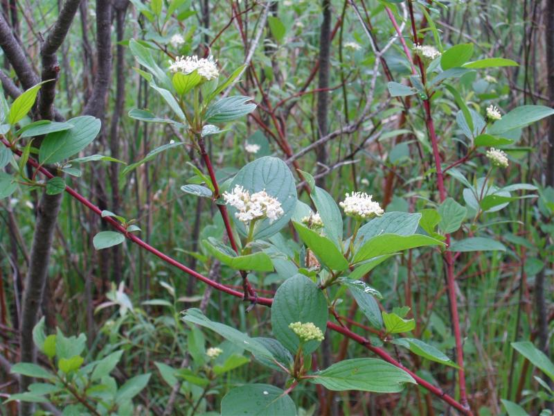 Native Plant of the Month: Red Osier Dogwood