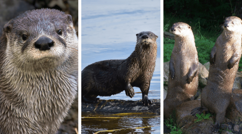Native Animal of the Month: Otter