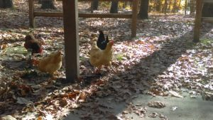 shady oak and sassafras chickens free range