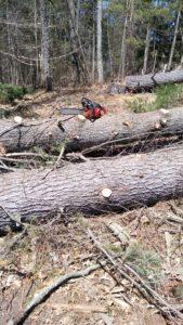 pine trees shady oak farm