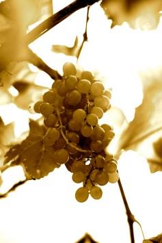 White wine grapes at Chateau Chantel Winery