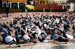 Pigeons outside of Batu Caves in Kuala Lumpur