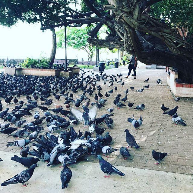 Lovely sight! #pigeon #birdsofafeatherflocktogether