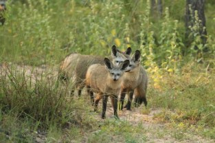 Bat Eared Fox (8)