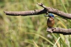 Malachite Kingfisher (1)