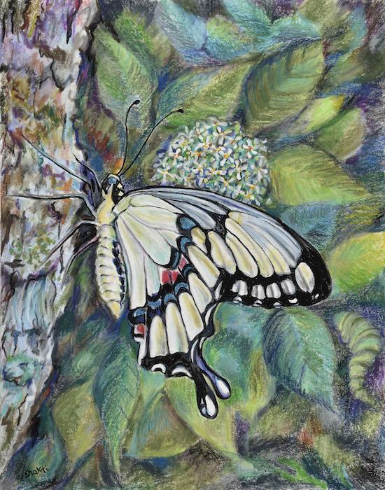 giant swallowtail butterfly, shakti sarkin