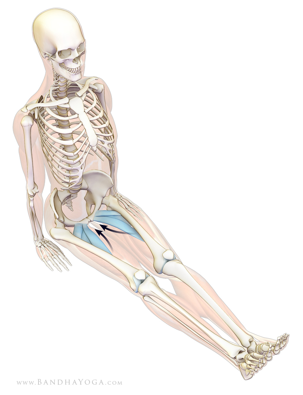 adductors longus, brevis and pectineus - dandasana