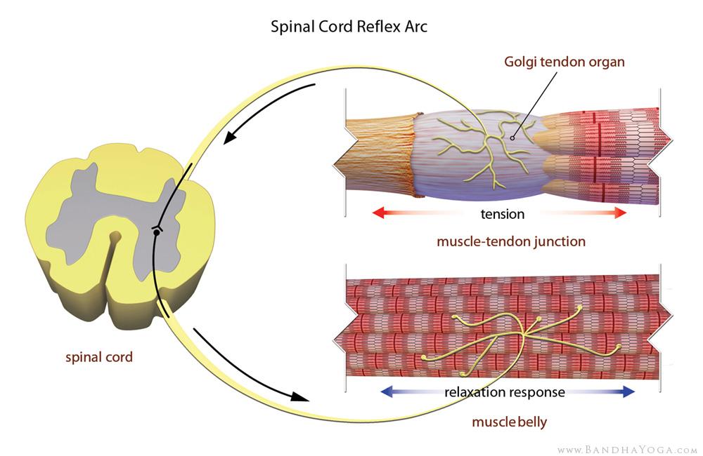 golgi tendon organ, spinal cord reflex arc