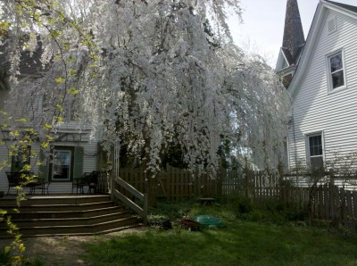 our weeping cherry and the church