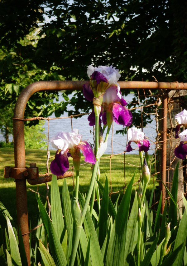 Irises by the river from May brings Spring Flowers on Shalavee.com