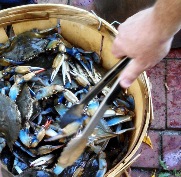 Maryland Blue Crabs on Shalavee.com