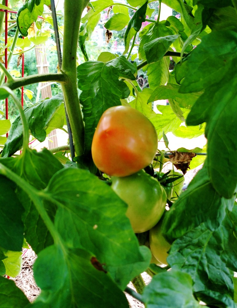 ripening tomatoes on Shalavee.com
