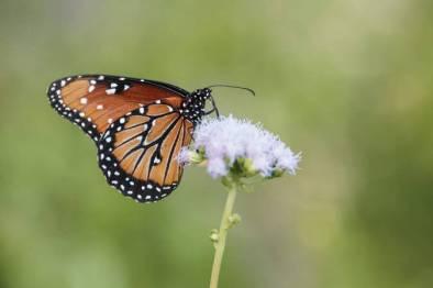 Queen butterfly on Purple Mistflower, Mitchell Lake Audubon Center, San Antonio, Texas, USA.