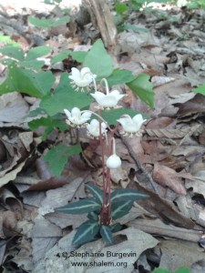 wintergreen close up w c