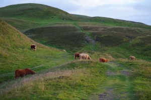 Edinburgh-Cows-DSC02743