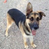 Chenko : Rescue German Shepherd Dog