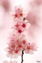 cherry-blossoms-sakura