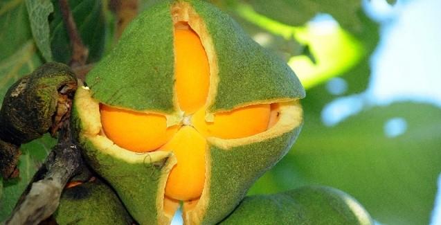 PEQUI (Caryocar brasiliense)