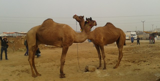 Pushkar-camel-fair-rajasthan-near-ajmer-old men- lord shiva-brahma temple