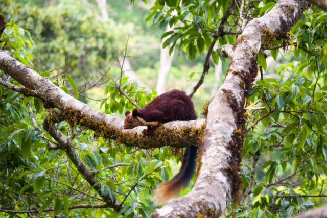 Malabar-squirrel-treehouse-vythiri-resorts-wayanda-kerela-india-travel
