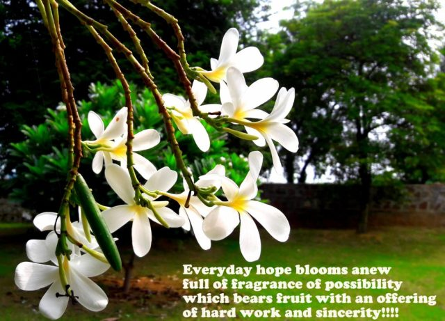 frangipani-champa-nagchampa-indianflowers-farmhouse-prayer-offering-blogprompt-newhorizon-clickandblogastory