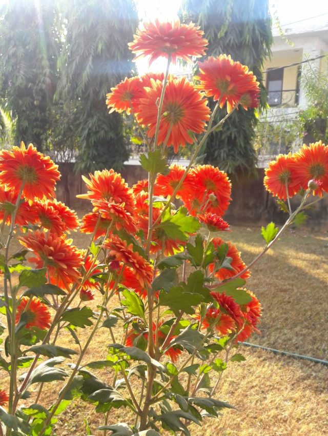 chrysanthmums-flowers-early-morning- temper-anger-balance-always-anyway-arrive-aspire-barwowe-ubc-tempering my nature