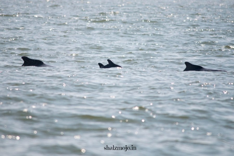 A2Z-BADGE-2017-blogging-challenge-theme-reveal-travel-stories-picture-speaks-louder-than-words-april-shalzmojosays-dolphins-arabian-sea-freshwater-goa-maharashtra-mumbai-tourist-India-boatcruise