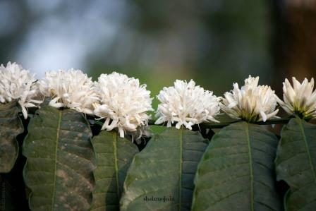 A2Z-BADGE-2017-blogging-challenge-theme-reveal-travel-stories-picture-speaks-louder-than-words-april-shalzmojosays-roadtrip-girltravel-india-Bangalore-coorg-coffee-plantation-TATA-bungalows-vanilla-bean-peppercorns-elephants-family-outing