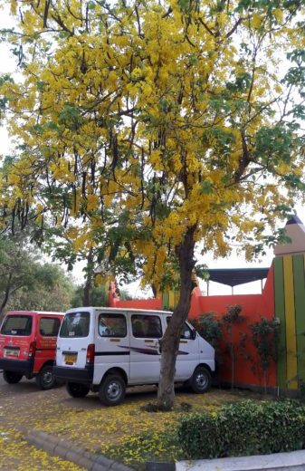 #thursdaytreelove-thursday-tree-love-amaltas-laburnum-summers-yellow-suncity-gurgaon