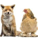 Hen Looking At Fox