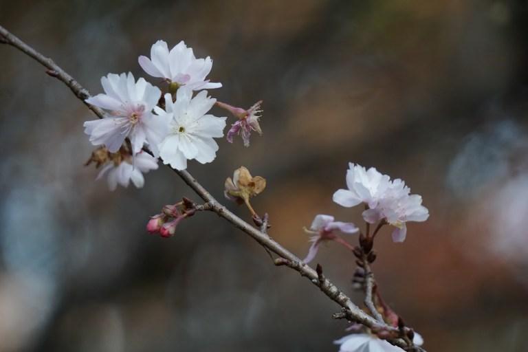 веты зимней цветущей сакуры. После активного гугления, я предположила, что это不断桜 (фудан-дзакура) — ей положено цвести как раз с конца декабря.
