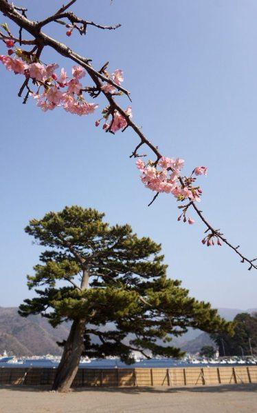 И здесь тоже цветёт сакура раньше, чем в Токио. Была бы Фудзи видна в тот день, было бы убийственное комбо символов Японии.
