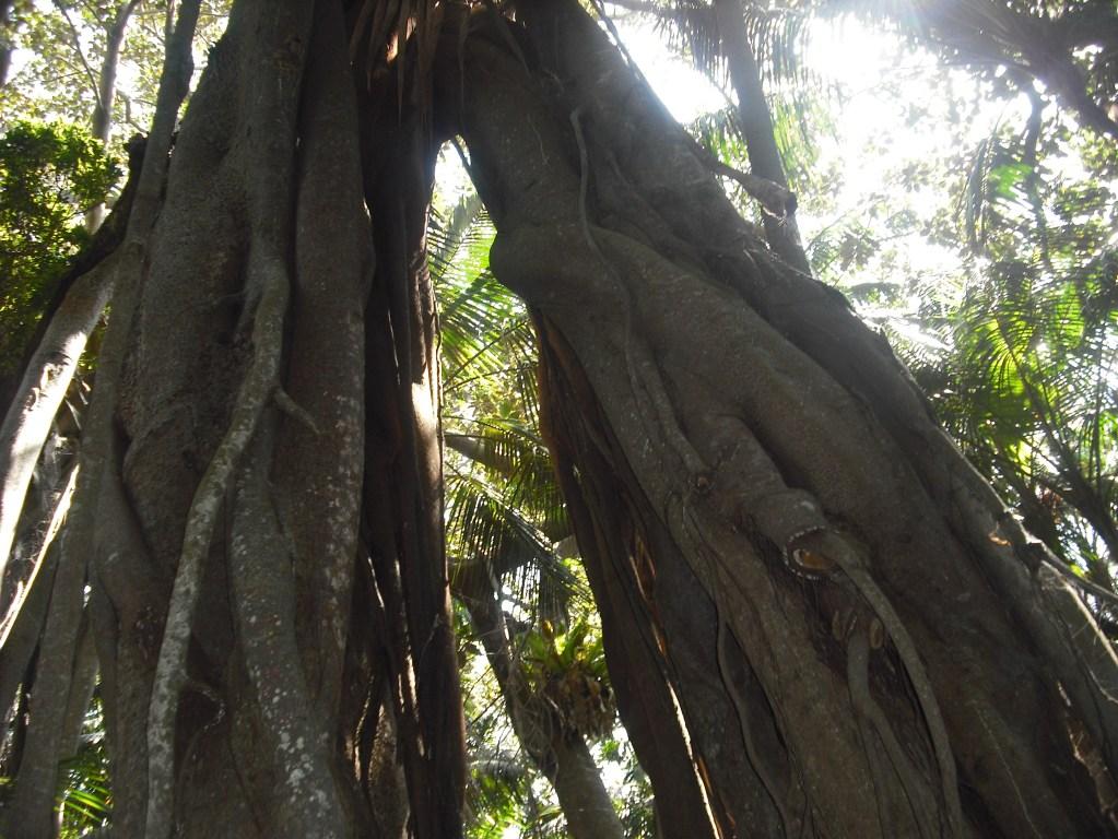 Banya Trees Lord Howe Island